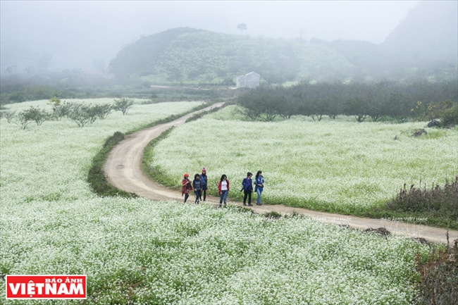 Mustard flowers bloom white in Ba Phach village. Photo: Viet Cuong