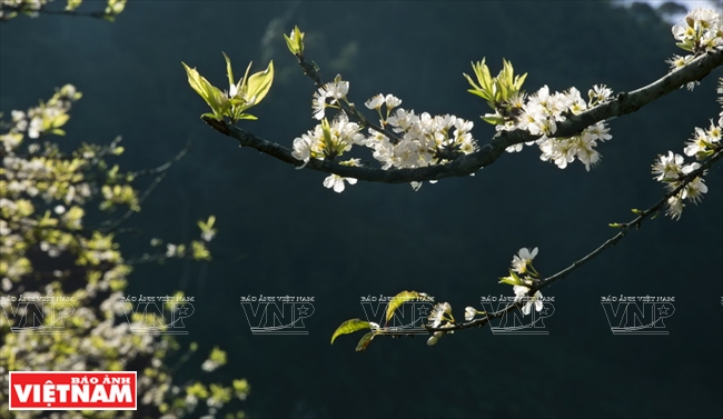 Pure white plum flowers. Photo: Tat Son