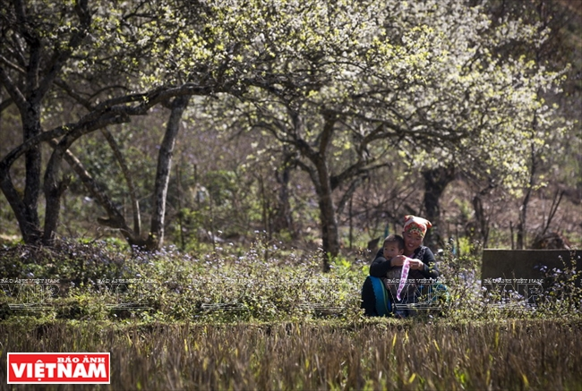 A Mong woman embroiders under plum trees in Chieng Di village 1, Van Ho district.  Photo: Tat Son