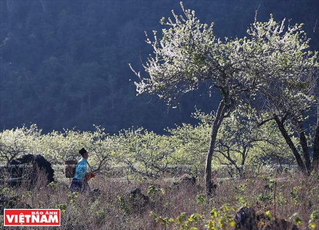 A Mong woman in a plum forest in Loong Luong commune, Van Ho district. Photo: Cong Dat