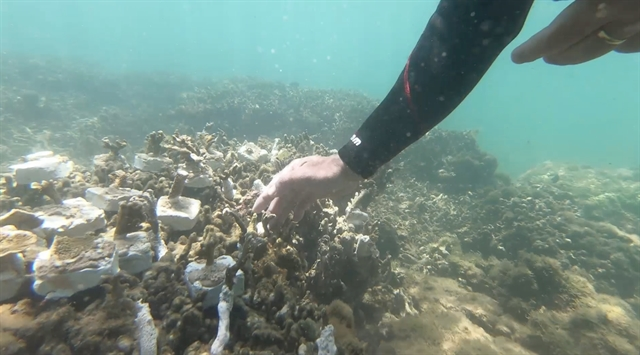 Da Nang: Coral reefs restoration begins in Son Tra Peninsula